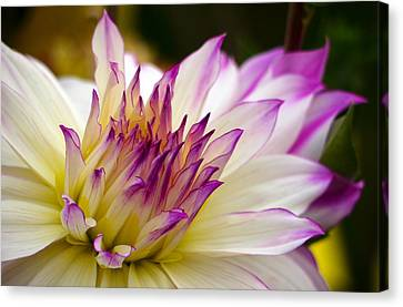 Canvas Print featuring the photograph Fire And Ice - Dahlia by Jordan Blackstone