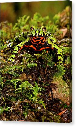 Fire Belly Toad Bombina Orientalis Canvas Print by David Northcott