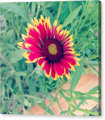 Fire Daisy Canvas Print by Thomasina Durkay