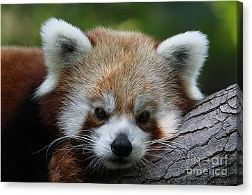 Canvas Print featuring the photograph Fire Fox by Judy Whitton