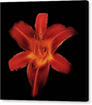 Fire Lily Canvas Print by Michael Porchik