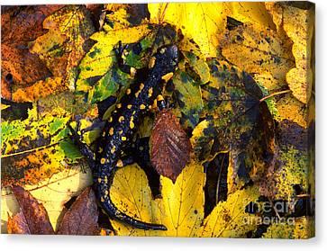 Fire Salamander Canvas Print by Art Wolfe