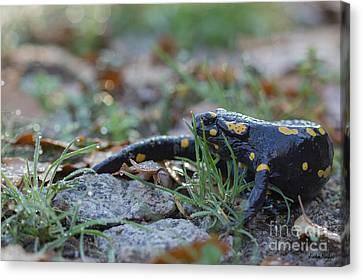 Fire Salamander Autumn Morning Canvas Print by Jivko Nakev