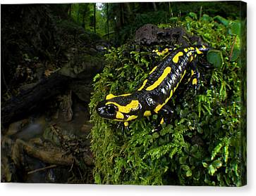 Fire Salamander (salamandra Salamandra Canvas Print by Andres Morya Hinojosa