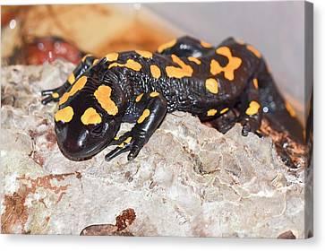 Fire Salamander (salamandra Salamandra) Canvas Print by Photostock-israel