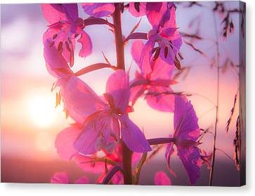 Fireweed At Sunset Canvas Print by Roger Clifford