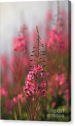 Fireweed Canvas Print