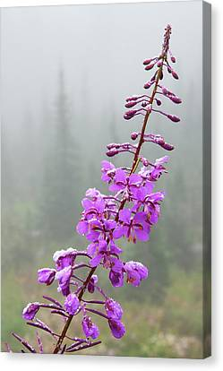 Fireweed, Frosty Covering Canvas Print