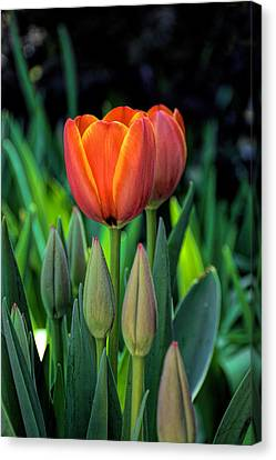 First Blooms Canvas Print by Jeanne May