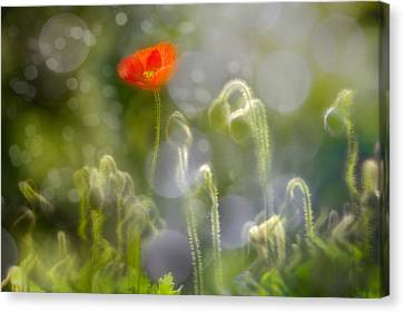 First Burst Canvas Print by Richard Piper
