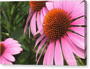 First Cone Flower Canvas Print by Cheryl Hardt Art
