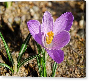 First Flower Of Spring Canvas Print by Alexandra Jordankova