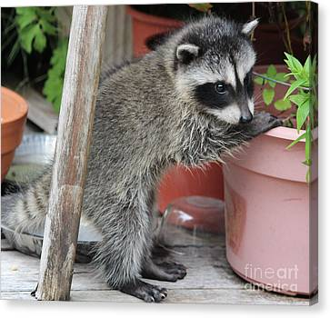 First Look At Baby Coonie Canvas Print by Kym Backland