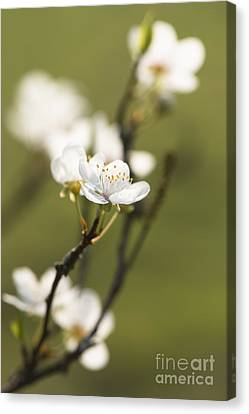 First Signs Of Spring Canvas Print by Anne Gilbert