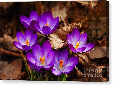 First Signs Of Spring Canvas Print by Elaine Manley