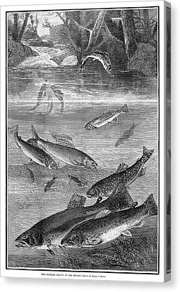 Speckled Trout Canvas Print - Fish, 1880 by Granger