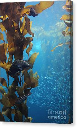 Fish Hiding In Kelp On The Ocean Floor 5d24849 Canvas Print by Wingsdomain Art and Photography