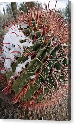 Fish Hook Barrel Cactus With Snow Canvas Print by Susan  Degginger