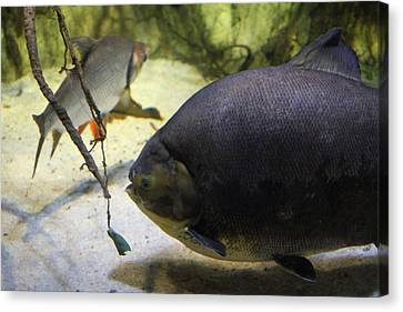 Fish - National Aquarium In Baltimore Md - 1212125 Canvas Print by DC Photographer