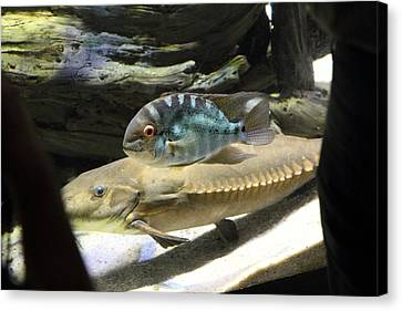 Fish - National Aquarium In Baltimore Md - 1212126 Canvas Print by DC Photographer
