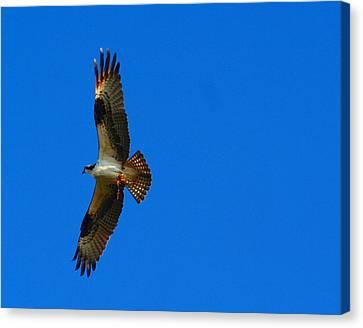 Fishhawk In Flight Canvas Print by April Wietrecki Green