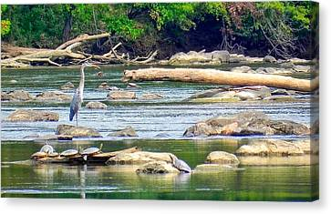 South Carolina State Bird Canvas Print - Fishing With Friends by Patricia Greer
