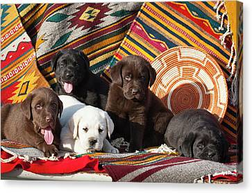 Five Labrador Retriever Puppies Of All Canvas Print by Zandria Muench Beraldo