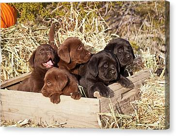Five Labrador Retriever Puppies Canvas Print by Zandria Muench Beraldo