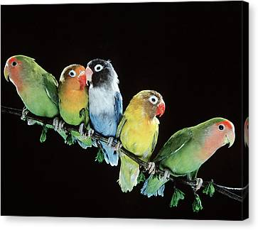 Five Lovebirds Canvas Print