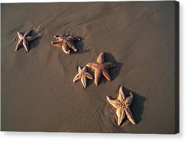 Five Starfish Washed Ashore Canvas Print by Norbert Rosing