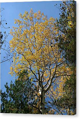 Flagstaff Aspens 784 Canvas Print