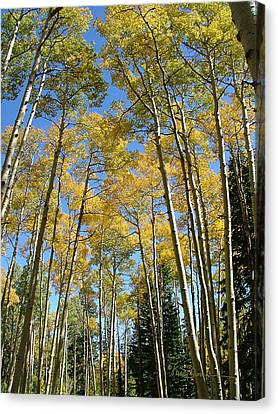 Flagstaff Aspens 794 Canvas Print