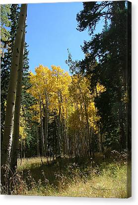 Flagstaff Aspens 801 Canvas Print