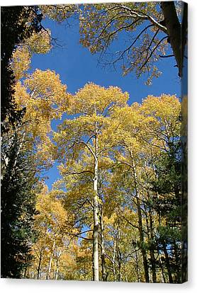 Flagstaff Aspens 803 Canvas Print