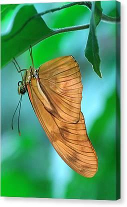 Flambeau Butterfly Canvas Print by Nigel Downer