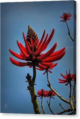 Royal Poinciana Canvas Print - Flamboyant 001 by Lance Vaughn