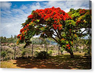 Royal Poinciana Canvas Print - Flamboyant In Glorious Bloom. Mauritius by Jenny Rainbow