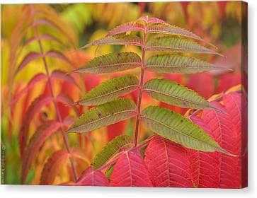 Flamboyant Sumac Canvas Print