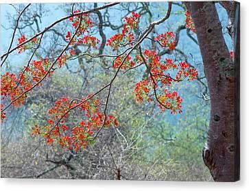 Royal Poinciana Canvas Print - Flamboyant Tree (delonix Regia) by K Jayaram