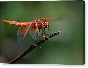 Flame Skimmer Dragonfly Canvas Print