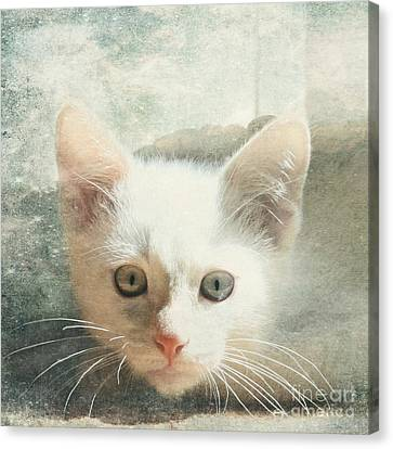 Flame Point Siamese Canvas Print - Flamepoint Siamese Kitten by Pam  Holdsworth
