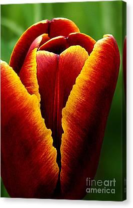 Flaming Heart Tulip Canvas Print by Kathi Mirto