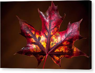 Flaming Red  Canvas Print by Crystal Hoeveler