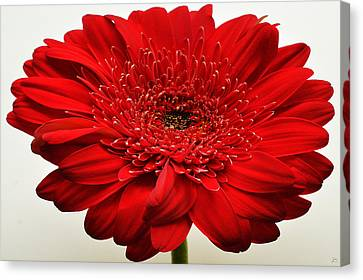 Flaming Red Zinnia Canvas Print by Sherry Allen