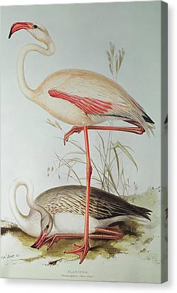 Nature Study Canvas Print - Flamingo by Edward Lear