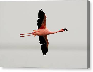 Flamingo Flight Canvas Print by Stefan Carpenter