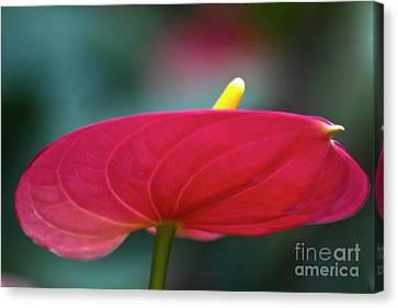 Flamingo Flower 1 Canvas Print by Heiko Koehrer-Wagner