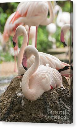 Flamingo Rest On Ground Canvas Print by Tosporn Preede