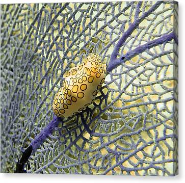 Flamingo Tongue Snail On Purple Fan Coral Canvas Print