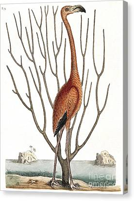 Flamingo With Keratophyton Plant, 1731 Canvas Print